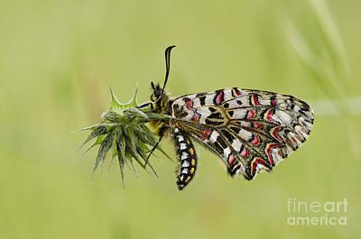 Spanish Festoon Butterfly Poster