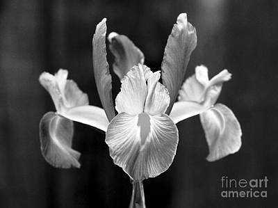 Spanish Iris Blossom Poster by Greg Vaughn - Printscapes