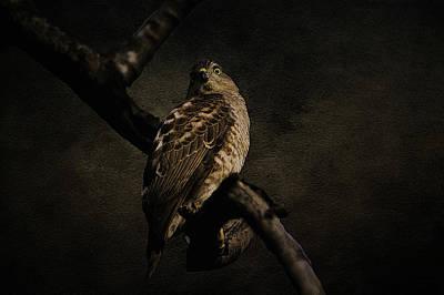 Sparrow Hawk Poster
