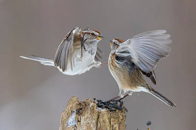 Poster featuring the photograph Sparrows Fight by Mircea Costina Photography