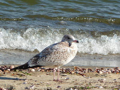 Poster featuring the photograph Speckled Brown Gull by Margie Avellino