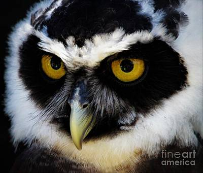 Spectacled Owl Poster by Paulette Thomas