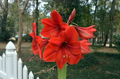 Spectacular Amaryllis Blooms Poster by Carla Parris