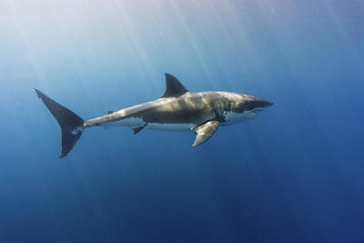 Spectacular Sunrays On A Spectacular Shark Poster by Steven Trainoff Ph.D.