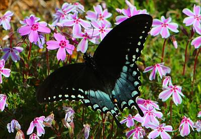 Spicebush Swallowtail Poster by Kathryn Meyer