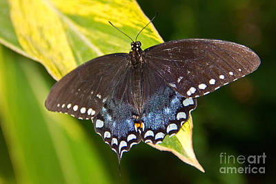 Spicebush Swallowtail Poster by Kelly Holm