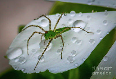 Spider And Flower Petal Poster by Tom Claud