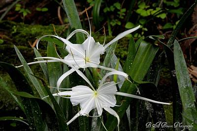 Poster featuring the photograph Spider Lilies by Barbara Bowen