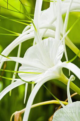 Spider Lilies Poster by Bill Brennan - Printscapes