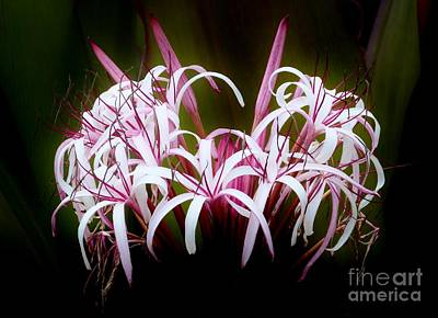 Spider Lilly Poster by Amar Sheow