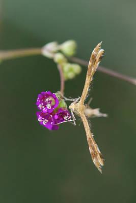 Spiderling Plume Moth On Wineflower Poster