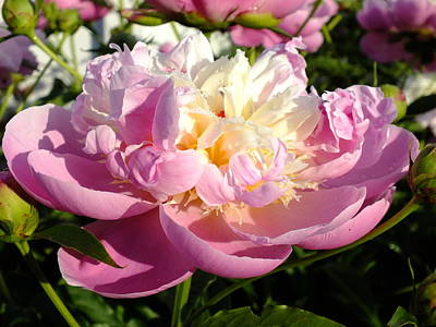 Sorbet Peony - Dew Poster by Cindy Treger