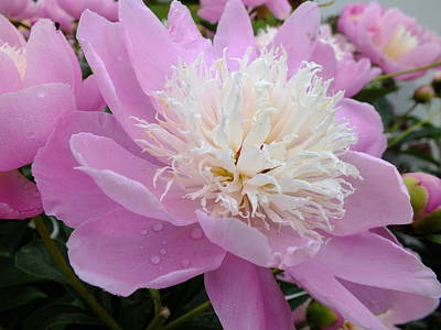Sorbet Peony - Beauty Poster by Cindy Treger