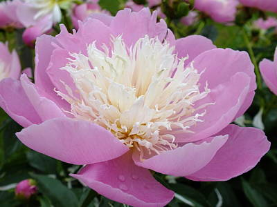 Sorbet Peony - Displayed Poster by Cindy Treger