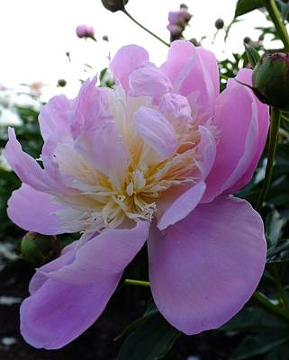 Sorbet Peony - Side View Poster by Cindy Treger