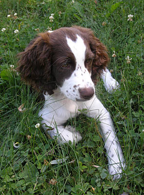 Poster featuring the photograph Spinger Spaniel Pup by Angie Rea