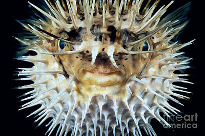 Spiny Puffer Poster by Dave Fleetham - Printscapes