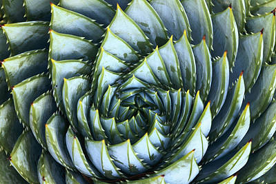 Spiral Aloe Poster
