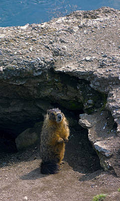 Spokane River Marmot Poster by Daniel Hagerman