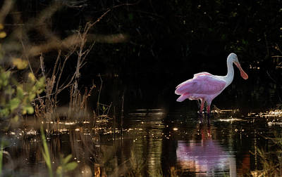 Spoonbill Fishing For Supper Poster