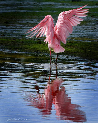 Spoonbill Flapping Wings Poster by Joseph G Holland