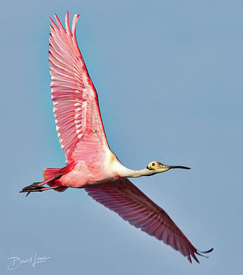 Poster featuring the photograph Spoonbill Flying Over by David A Lane