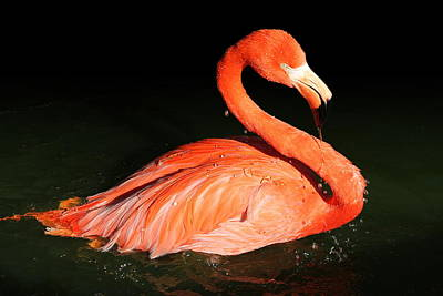 Spotlight On A Bathing Flamingo Poster