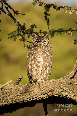 Spotted Eagle-owl  Poster by Inge Johnsson