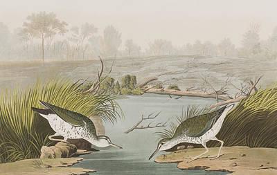Spotted Sandpiper Poster by John James Audubon