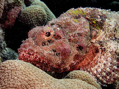 Spotted Scorpion Fish Poster