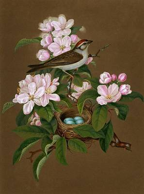 Sprague's Natural History Chipping Sparrow Poster