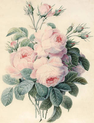 Spray Of Centifolia Roses Poster by J Herzog