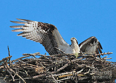 Poster featuring the photograph Spread-winged Osprey  by Debbie Stahre
