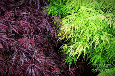 Spring Acer Palmatum Leaves Poster by Tim Gainey