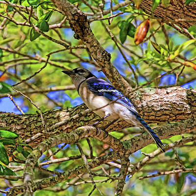 Spring Blue Jay Poster by HH Photography of Florida