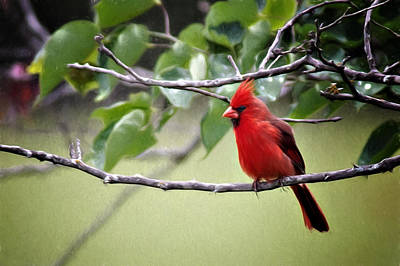 Spring Cardinal Poster by Lana Trussell