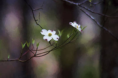 Spring Dogwood Blooms Poster by Darren Fisher
