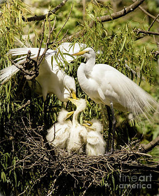 Poster featuring the photograph Spring Egret Chicks by Robert Frederick