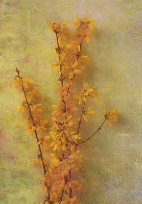 Spring Forsythia Poster by Catherine Alfidi