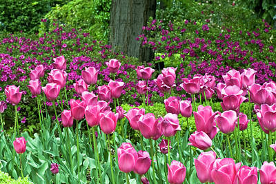 Poster featuring the photograph Spring Garden - Pink Tulip Border by Frank Tschakert
