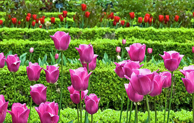 Poster featuring the photograph Spring Garden - Pink Tulips by Frank Tschakert