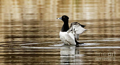 Spring Has Sprung For The Ring-necked Duck Poster by Sue Harper