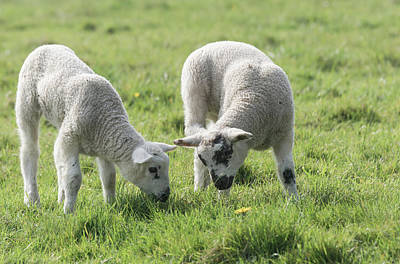 Poster featuring the photograph Spring Lambs by Scott Carruthers