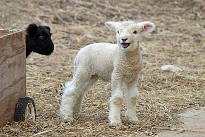Spring Lambs Poster by Sue Feldberg