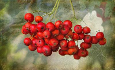 Spring Mountain Ash Berries  Poster