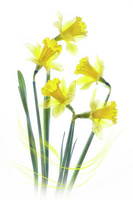 Spring Narcissus Poster by Jacky Parker