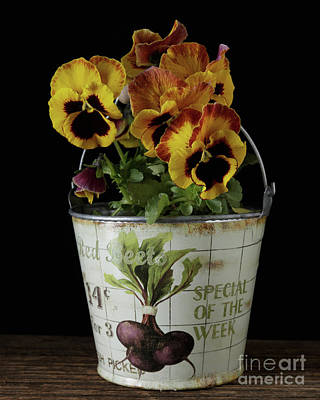 Spring Pansy Flowers In A Pail Poster by Edward Fielding