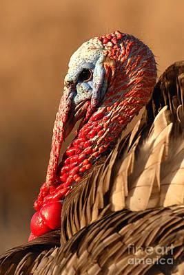 Spring Portrait Of Wild Turkey Tom Poster