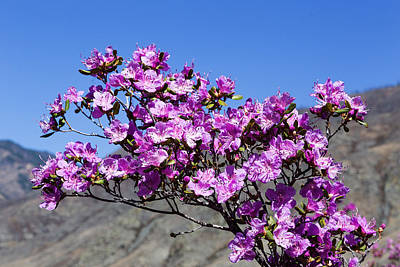 Spring Rhododendron In Altay Mountains Poster by Victor Kovchin