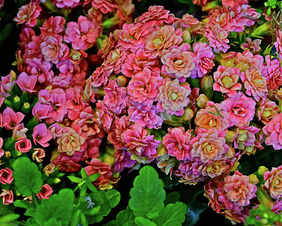 Poster featuring the photograph Spring Show 18 Double Pink Kalanchoe by Janis Nussbaum Senungetuk